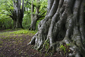 Roots of an ancient Beech tree (Fagus sylvatica), Lineover Wood, Gloucestershire, England  -  Nick Turner