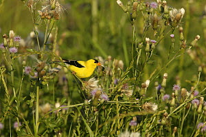 American Goldfinch (Carduelis tristis) collecting thistle down from Canada Thistle (Cirsium arvense)  for nests, USA  -  Thomas Lazar