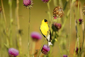 American Goldfinch (Carduelis tristis) male in breeding plumage perched on Nodding / Musk Thistle (Carduus nutans) USA  -  Thomas Lazar