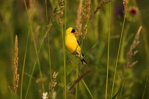 American Goldfinch (Carduelis tristis) male in breeding plumage amongst seed grasses, USA  -  Thomas Lazar