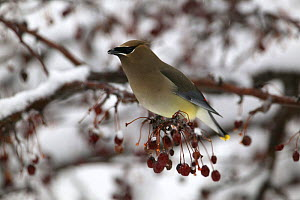 Cedar Waxwing (Bohemian Waxwing) - late winter ariving CW feeding on crab apple fruit in snow covered tree - mixed woodland -Witnal Park SE Wisconsin  -  Thomas Lazar