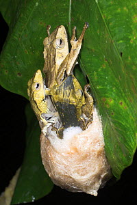 Bornean eared tree frog (Polypedates otilophus) female laying eggs and mating with 2 males. Lowland rainforest, Danum Valley, Sabah, Borneo. - Nick Garbutt
