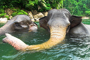 RF- Sumatran forest elephants (Elephas maximus sumatranus) bathing. Gunung Leuser National Park, Sumatra, Indonesia. Endangered species. (This image may be licensed either as rights managed or royalty... - Nick Garbutt