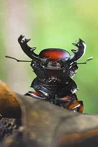 Giant Stag Beetle {Lucanidae} (unknown species)  Montane rainforest, Mt Kinabalu, Sabah, Borneo.  -  Nick Garbutt