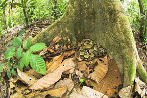 Reticulated Python (Python reticulata) resting at the base of buttress rooted tree. Kinabatangan River, Sabah, Borneo  -  Nick Garbutt