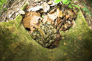 Looking down on Reticulated Python (Python reticulatus) resting at the base of buttress rooted tree. Kinabatangan River, Sabah, Borneo  -  Nick Garbutt