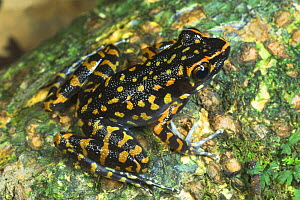 Spotted Stream Frog (Rana picturata) on mossy tree trunk, Danum Valley, Sabah, Borneo - Nick Garbutt
