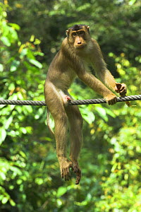 """Pigtail Macaque (Macaca nemestrina) on purpose-built """"primate wire"""" connecting isolated patches of forest. Kinabatangan River, Borneo  -  Nick Garbutt"""