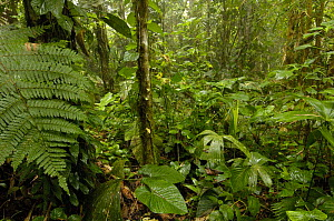 Primary rainforest, Western slope of Andes, Ecuador  -  Pete Oxford