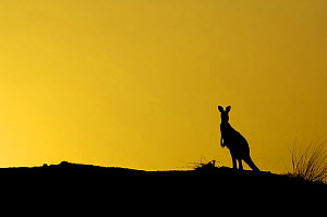 Eastern Grey Kangaroo (Macropus giganteus) silhouette on coal mine site, Australia, 2006  -  Pete Oxford