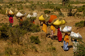 Village women carrying dried sticks home for fire wood. Near Ranthambhore, Rajasthan, India, October 2006  -  Pete Oxford