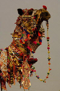 Decorated camel owned by Ashok Shivani Tak who is a keen collector of fine camel trappings, old saddles and textiles. Pushkar camel and livestock fair, Pushkar, Rajasthan, India, October 2006  -  Pete Oxford