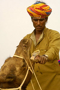 Rajusthani pastoralist checking the teeth of a camel that he wished to purchase at the Pushkar camel and livestock fair, Pushkar, Rajasthan, India, October 2006  -  Pete Oxford