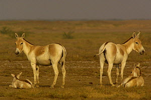 Asiatic Wild Ass / Kuhr (Equus hemionus khur) adults with foals, Rann of Kutch, Gujarat, SW India. Endangered - Pete Oxford