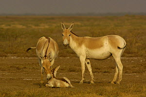 Asiatic Wild Ass / Kuhr (Equus hemionus khur) adults with foal, Rann of Kutch, Gujarat, SW India. Endangered - Pete Oxford