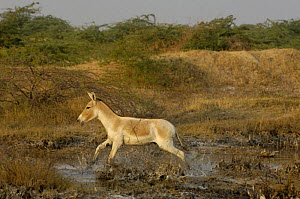 Asiatic Wild Ass / Kuhr (Equus hemionus khur) running through water, Rann of Kutch, Gujarat, SW India. Endangered - Pete Oxford