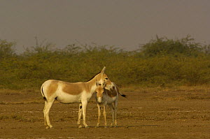 Asiatic Wild Ass / Kuhr (Equus hemionus khur) with foal, Rann of Kutch, Gujarat, SW India. Endangered - Pete Oxford