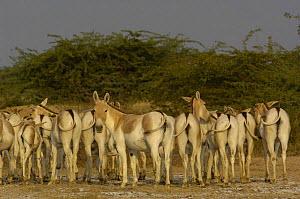 Herd of Asiatic Wild Ass / Kuhr (Equus hemionus khur) Rann of Kutch, Gujarat, SW India. Endangered - Pete Oxford