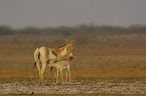 Asiatic Wild Ass / Kuhr (Equus hemionus khur) suckling young foal, Rann of Kutch, Gujarat, SW India. Endangered - Pete Oxford