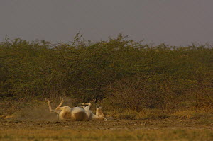 Asiatic Wild Ass / Kuhr (Equus hemionus khur) rolling in dust, Rann of Kutch, Gujarat, SW India. Endangered - Pete Oxford