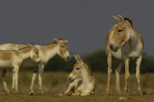 Asiatic Wild Ass / Khur (Equus hemionus khur) with foal, Rann of Kutch. Gujarat, India, Endangered - Pete Oxford