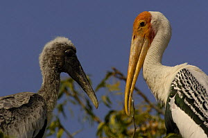 Painted stork on nest with chick (Mycteria leucocephala) Runn of Kutch, Gujarat. India  -  Pete Oxford