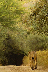 Asiatic lion (Panthera leo persica) Lioness walking away along path, Gir Forest NP, Gujarat, India, Critically Endangered  -  Pete Oxford