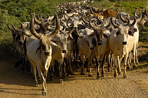 Kanarej cattle belonging to the Jhalavadi Rabari subgroup found around the Little Rann of Kutch, Gujarat, India 2006 - Pete Oxford