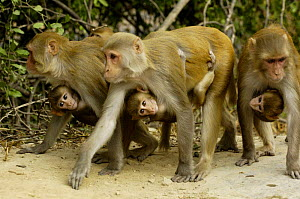 Rhesus Macaque (Macaca mulatta) females carrying young, Bharatpur National Park / Keoladeo Ghana Sanctuary, Rajasthan, India - Pete Oxford