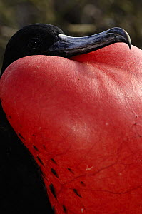 Great frigatebird (Fregata minor) male displaying, pouch inflated, Galapagos  -  Pete Oxford