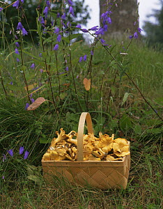 Basket of Chanterelle fungi {Cantharellus sp} in woodland, Sweden  -  Bengt Lundberg