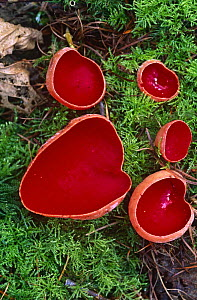 Scarlet elf cup fungus {Sarcoscypha coccinea} growing on dead wood covered in moss, Glos, UK  -  WILLIAM OSBORN