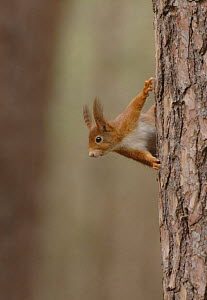 Red Squirrel (Sciurus vulgaris) on tree trunk, UK - Graham Eaton