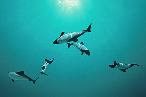 Piebald / Commerson's dolphins {Cephalorhynchus commersonii} captive, digital composite Occurs southern South America  -  Doug Perrine