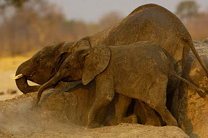 African Elephants (Loxodonta africana) rubbing their bodies against a termite mound. After covering themselves with mud in the waterhole they dustbath and sometimes rub against any available outcrop o...  -  Pete Oxford