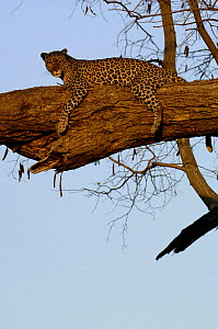 Leopard (Panthera pardus) female relaxing on the branch of a tree. Savuti Channel, Linyanti area, Botswana, Southern Africa  -  Pete Oxford