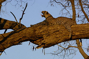 Leopard (Panthera pardus) female yawning whilst relaxing on the branch of a tree. Savuti Channel, Linyanti area, Botswana, Southern Africa  -  Pete Oxford