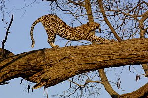 Leopard (Panthera pardus) female stretching after sleeping on the branch of a tree. Savuti Channel, Linyanti area, Botswana, Southern Africa  -  Pete Oxford