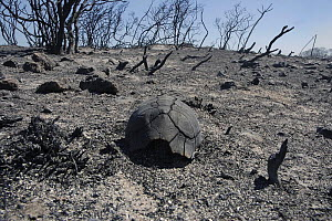 Dead Angulated tortoise {Chersina angulata} burnt during controlled fires, Dehoop NR, Western Cape, South Africa.  -  Tony Phelps