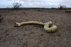 Puff adder {Bitis arietans} killed during controlled fires, DeHoop NR, Western Cape, South Africa.  -  Tony Phelps