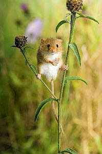 Harvest mouse {Micromys minutus) standing on Knapweed with wildflower meadow behind, captive, UK  -  Andy Sands