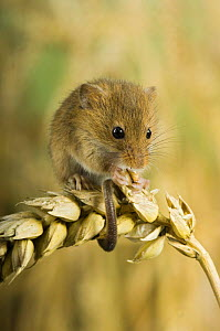 Harvest mouse {Micromys minutus} adult feeding on ear of corn, captive, UK - Andy Sands