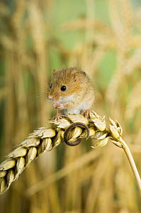Harvest mouse {Micromys minutus} adult sitting on ear of corn, captive, UK - Andy Sands