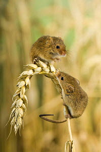 Harvest mouse {Micromys minutus} two adults on ear of corn, captive, UK - Andy Sands