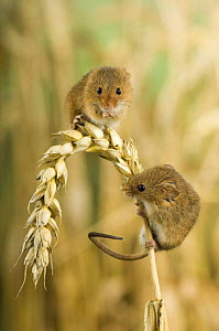 Two adult harvest mice {Micromys minutus} on ear of corn, captive, UK - Andy Sands