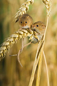 Harvest Mouse {Micromys minutus} Two adults sitting on ear of corn with tails entwined, captive, UK  -  Andy Sands