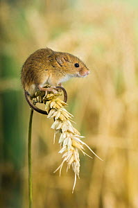 Harvest mouse {Micromys minutus} sitting on ear of corn, captive, UK - Andy Sands
