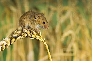 Harvest mouse {Micromys minutus} standing on corn, captive, UK  -  Andy Sands