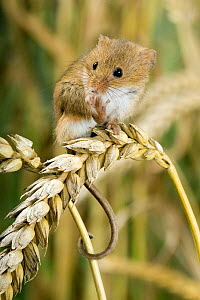 Harvest mouse {Micromys minutus} adult standing on corn and cleaning feet, captive, UK - Andy Sands