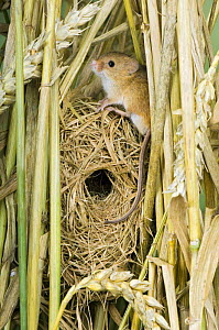 Harvest mouse {Micromys minutus} adult sitting on breeding nest in corn, captive, UK  -  Andy Sands